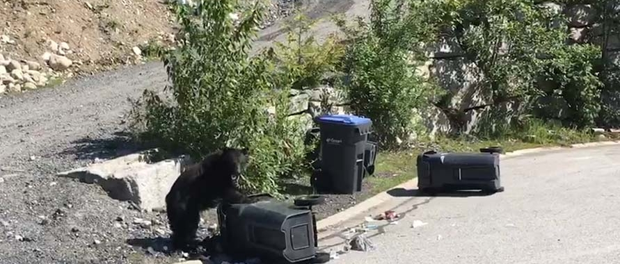 Bear in Britannia Beach getting into garbage