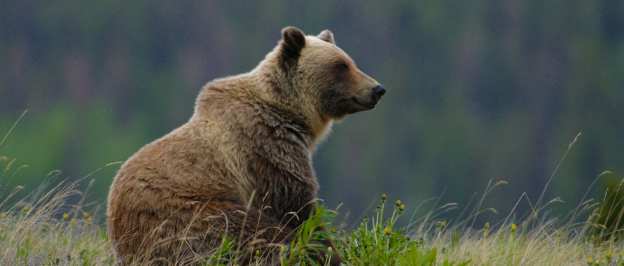 Grizzly Bear Awareness