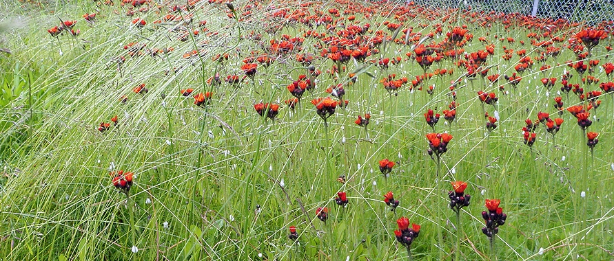 Photo of orange hawkweed invasive species